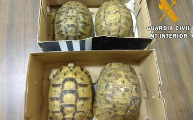 Arrestado en el puerto de Almería por llevar en el coche cuatro tortugas moras