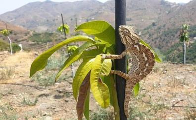El Ayuntamiento de Almuñécar censará a los camaleones en el Paraje de Cerro Gordo