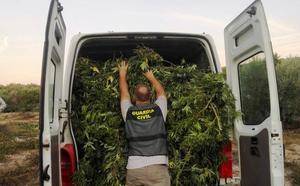 Un detenido en Villacarrillo al serle intervenida una plantación de marihuana de 200 kilos de peso