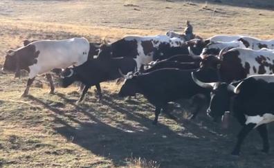 Cincuenta toros sueltos en la sierra de Castril provocan una búsqueda de 12 horas con helicóptero