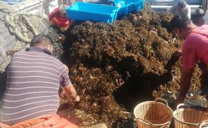 La Universidad analiza si el alga asiática invasora está ya en la Costa Tropical