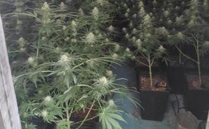 Huye de unos policías de Granada y les conduce a su invernadero oculto de marihuana, con 123 plantas