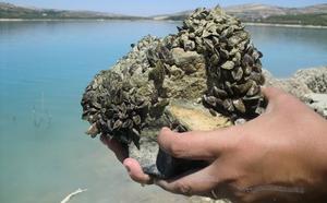 'Guerra' al mejillón cebra en aguas jienenses tras invadir ya pantanos
