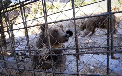 Los últimos osos de Peña Escrita viajarán hasta Hungría 'escoltados' por un veterinario municipal