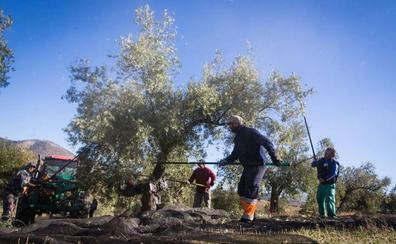 La crisis de precios del aceite asesta un golpe de 225 millones de euros a los pueblos de Granada