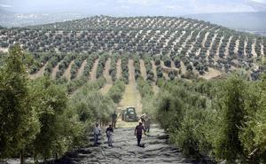 Asedio al olivar