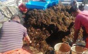 La UGR confirma que el alga encontrada por pescadores en la Rábita es la invasora asiática