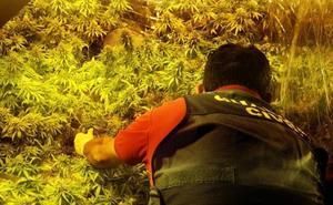 Hallan una plantación con 800 plantas de cannabis en una nave industrial de Granada