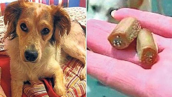 Intentan matar perros con alfileres camuflados en salchichas