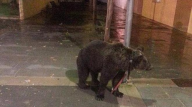 Abandonan un oso atado a una farola en pleno centro de la localidad valenciana de Cárcer