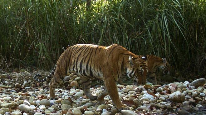 Policías y bomberos franceses buscan a un tigre suelto cerca de Disneyland Paris