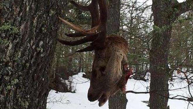 Aparecen ciervos decapitados en las montañas cántabras
