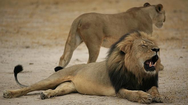 Zimbabue pide a EE UU la extradición del cazador que mató al león Cecil