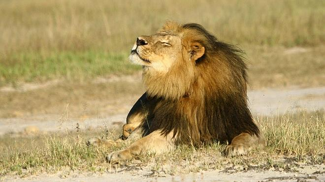 Zimbabue investiga la posible muerte de Jericó, hermano del león Cecil