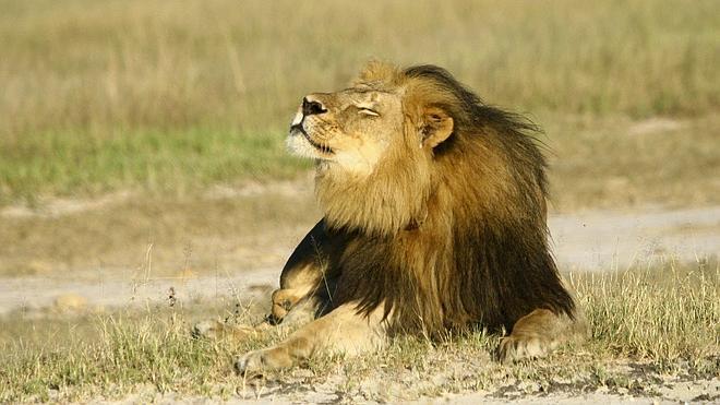 Zimbabue acusa al dueño del coto de la matanza del león Cecil