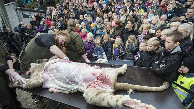 Polémica por la disección de un león en un zoo de Dinamarca