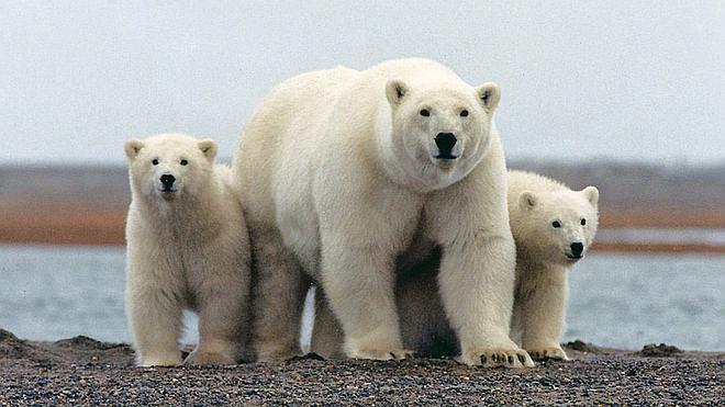 El cambio climático pone en jaque al oso polar