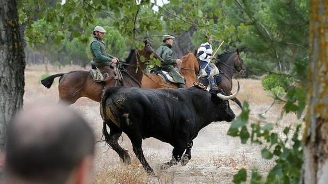 El Toro de la Peña sustituirá al Toro de la Vega en Tordesillas