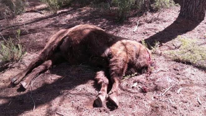 Hallan decapitado al principal bisonte de la reserva valenciana de Valdeserrillas