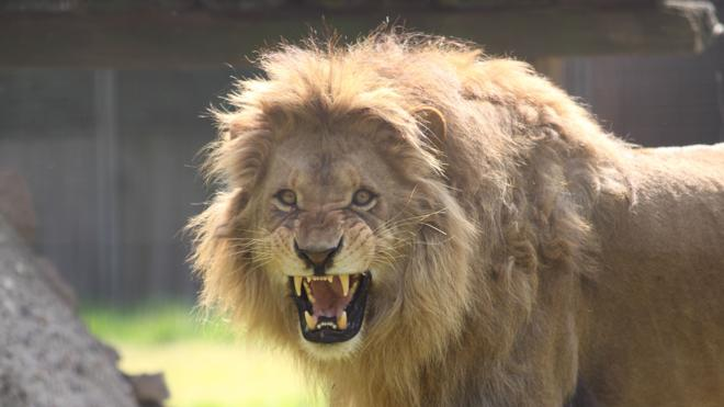La Policía mata a uno de los dos leones escapados de un zoo de Alemania