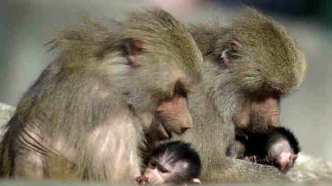 Los babuinos producen cinco sonidos parecidos a las vocales