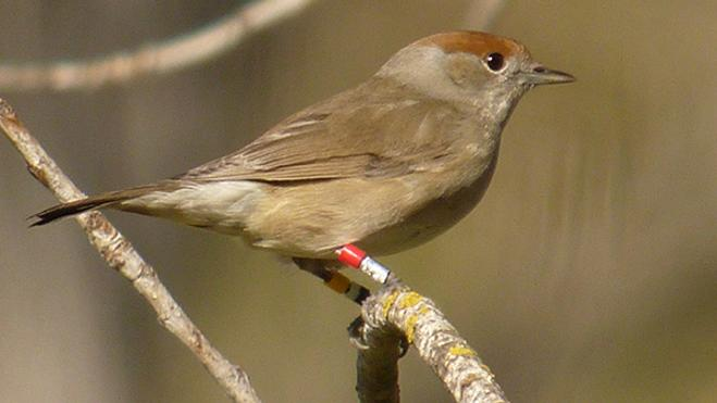 Identifican mayor agresividad en las aves no migratorias