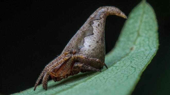 La araña Sombrero de Harry Potter lidera la clasificación de nuevas especies