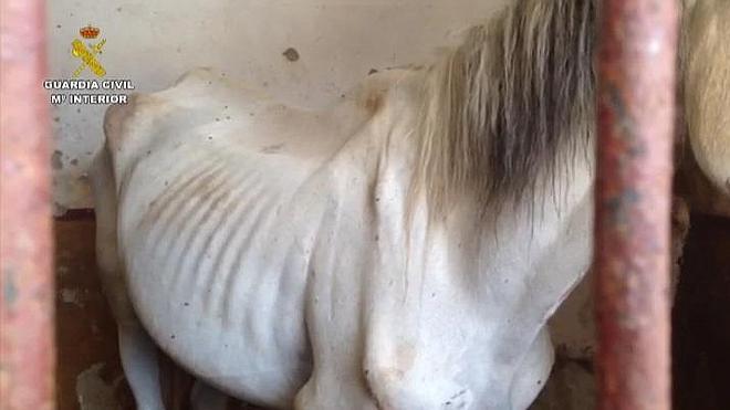 La Guardia Civil imputa a la responsable de una explotación equina por un delito de maltrato animal