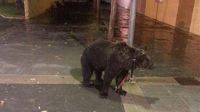Un domador deja atado a su oso a una farola para irse al bar