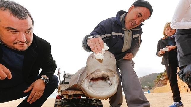 Aparecen dos tiburones en Alicante, uno varado y otro atrapado por una barca