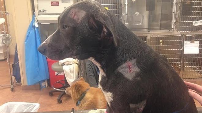 Legend, el perro de 7 meses que recibió dos balazos protegiendo a sus dueños en un asalto
