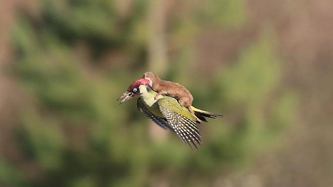 Increíbles imágenes de un pájaro carpintero transportando a un bebé comadreja