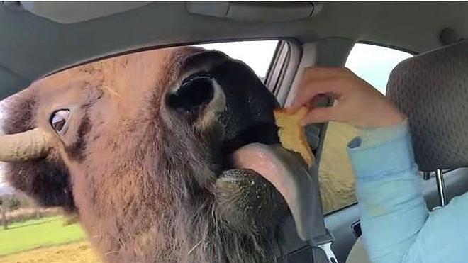 Una chica da de comer a un búfalo salvaje desde su propio coche y él lo agradece