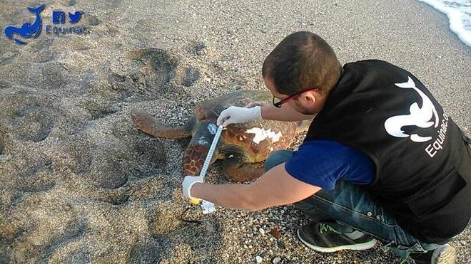 Aparecen muertas tres tortugas bobas en las playas de Almerimar, Cabo de Gata y Mojácar
