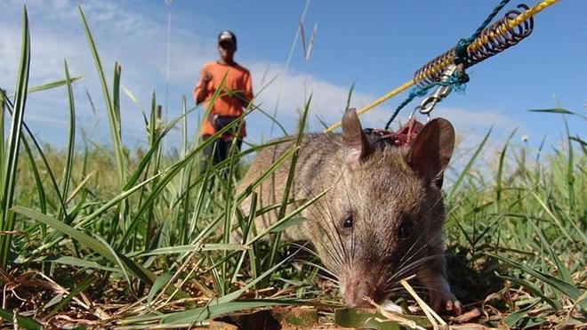 Las heroicas ratas que olfatean minas anti persona y salvan miles de vidas al año