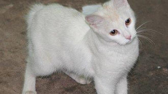 La extraña belleza del 'gatoconejo' nacido en Venezuela