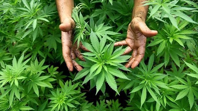 Croacia legaliza la marihuana para fines medicinales