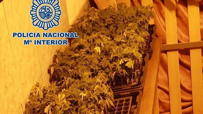 Dos detenidos cuando transportaban 111 esquejes de marihuana en una furgoneta