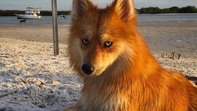 La bella mascota que parece un zorro pero es un perro
