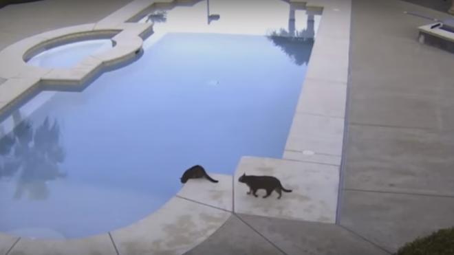 El gato maligno que empuja a su hermano a una piscina