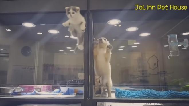 Genial fuga de un gatito para visitar a su amigo perro en la tienda de mascotas