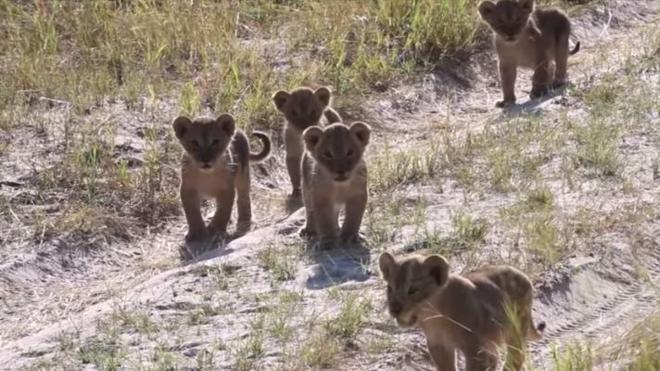 Graban a los adorables nietos del león Cecil, un año después de su muerte