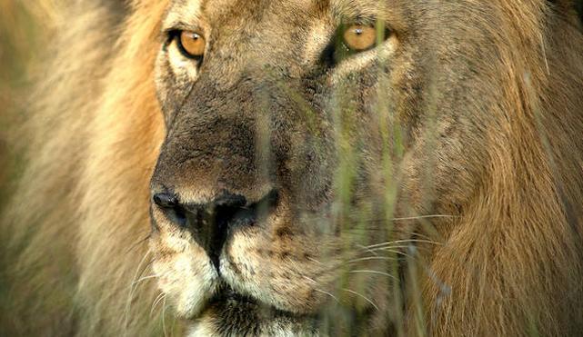 La huella del león más querido