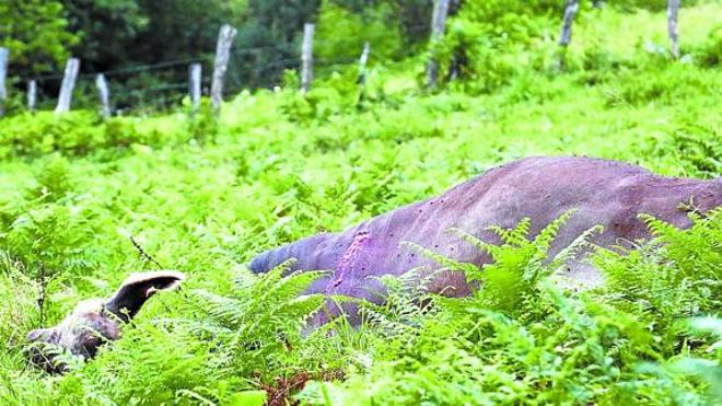 Muere un hombre embestido por un toro mientras paseaba