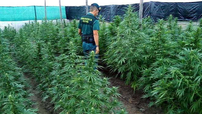 Arrestado por tener una plantación de 160 plantas de marihuana en Nacimiento