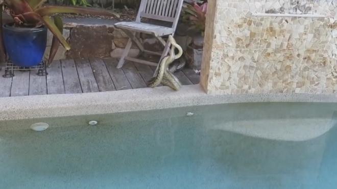 Lucha feroz entre dos serpientes en su piscina