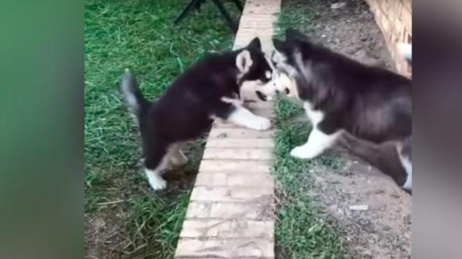 La tremenda dulzura de dos pequeños Huskys