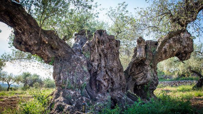 Con 1.702 años, así miman al olivo más grande de España | Ideal