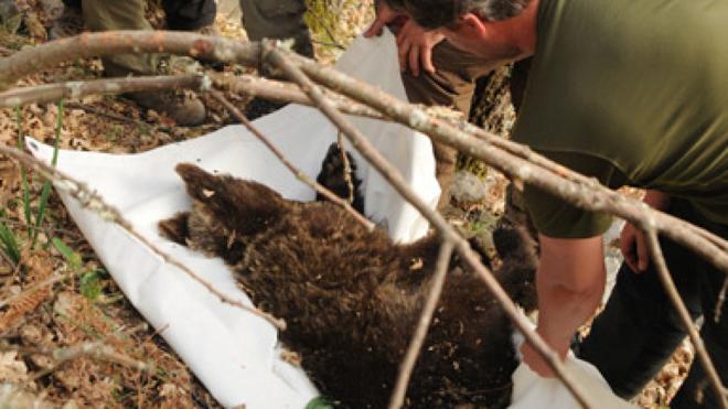 Hallan el cadáver de un oso pardo en Asturias