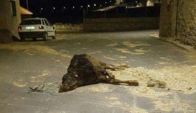 Denunciado un ganadero por dejar morir a un ternero en la calle